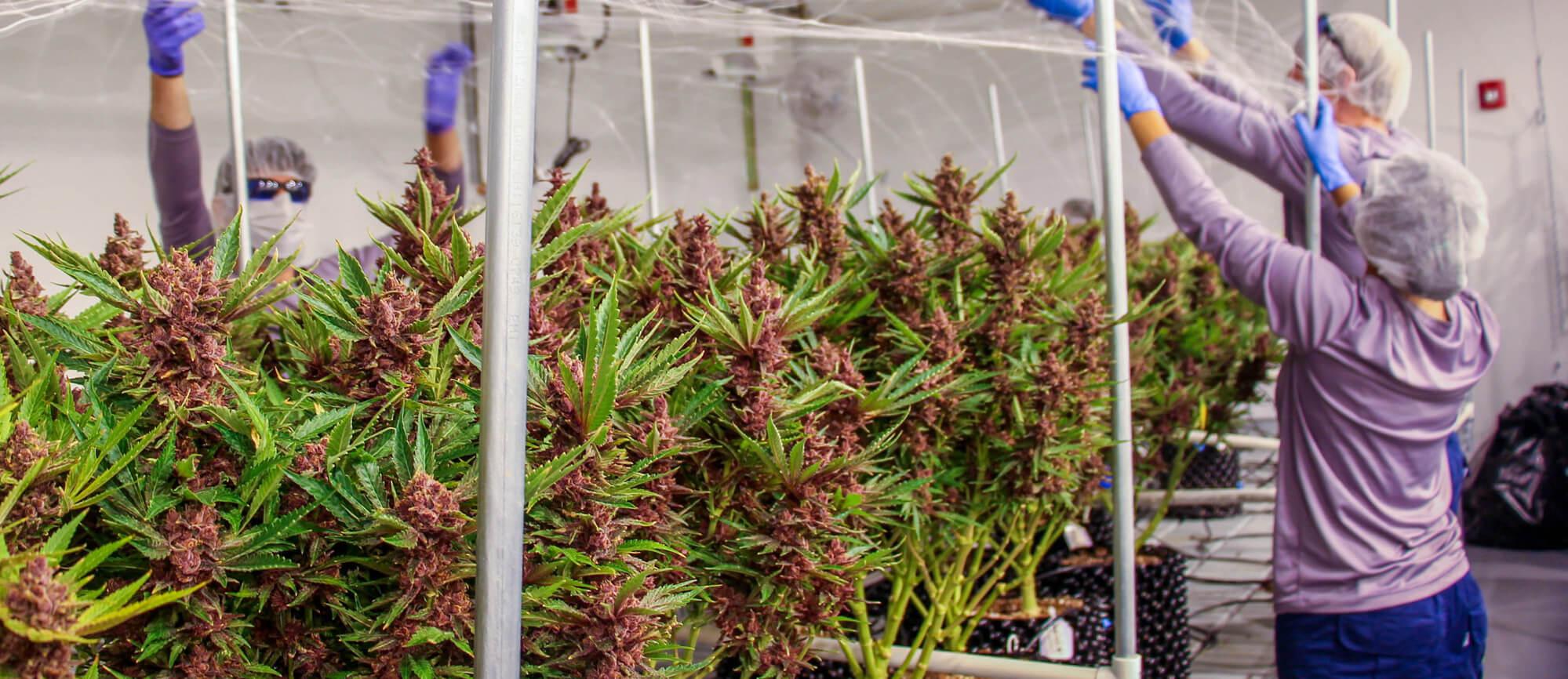 Buckeye Purple Medical Marijuana